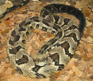 photo of rattlesnake ready to strike