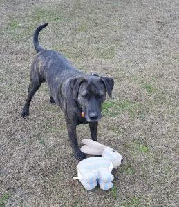 trixie dog with toy rabbit